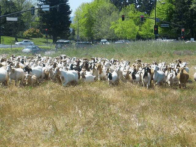 Google goats hired at California headquarters
